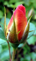 Rosebud from rose from neighbor