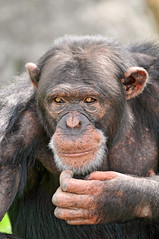 Confused chimp