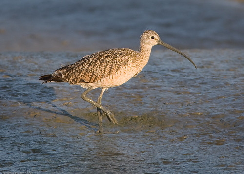Long-billed Curlew by you.
