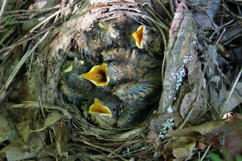 Veery chicks