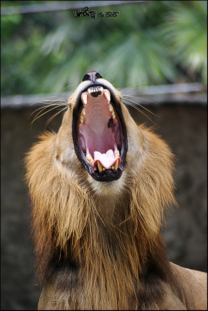 African Lion (Panthera leo leo)