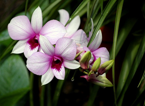 Pink Throat Orchid