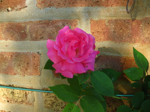 My beloved zepherine drouhin rose. Great scent, easy growing, and no thorns. Gotta love it!