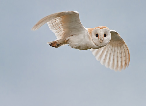 Barn Owl look_2