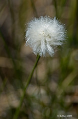 Cotton Grass (Eriophorum sp.) at Alfred Bog
