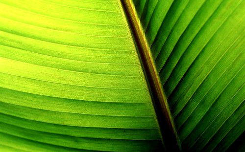 Banana Leaf Abstract. (Kodak Ektachrome E100VS. Nikon F100. Epson V500.)