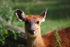 Sitatunga im Parc zoologique et botanique de Mulhouse