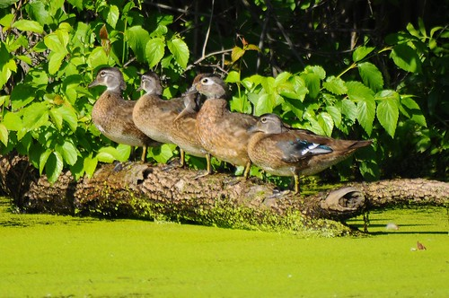 five woodducks
