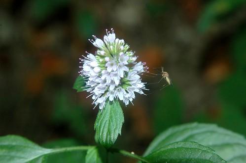 Mosquito (Culex sp) & Mint (Mentha)