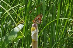 泉の森のツマグロヒョウモン(Butterfly, Izuminomori park, Yamato, Kanagawa, Japan)