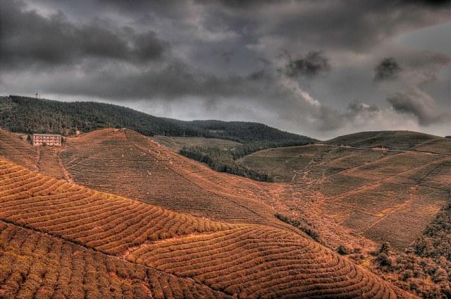 Red Tea Field.