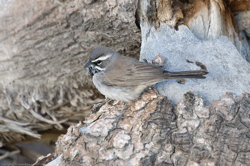 Black-throated Sparrow by you.