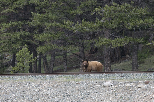 Bear spotted along Jaspers Railway Track. Is that a Grizzly or a Black Bear?