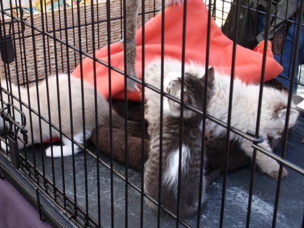 Adorable kittens at the Purrfect Pals booth!