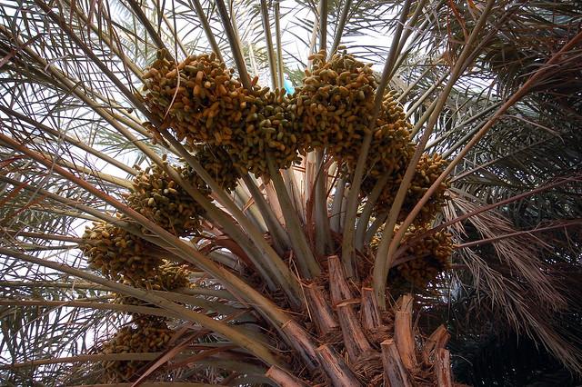 Omani date palm