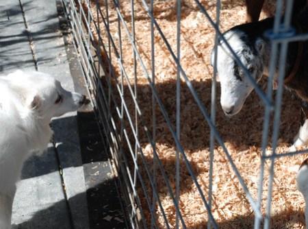 Dog Meets Goat