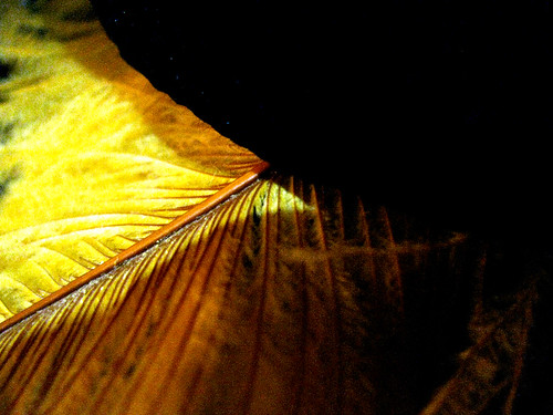 Yellow Feather in a Black Hat