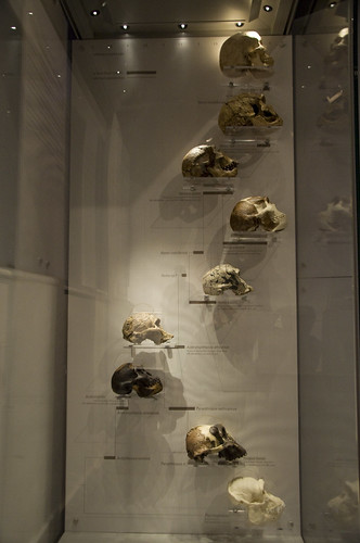 Display showing the skulls of primates and Man, indicating evolutionary trends