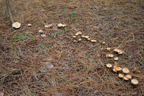 Fairy ring, prob. Gymnopus dryophilus