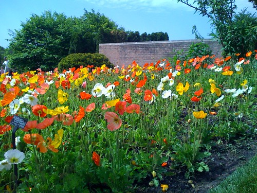 Icelandic poppies at CBG