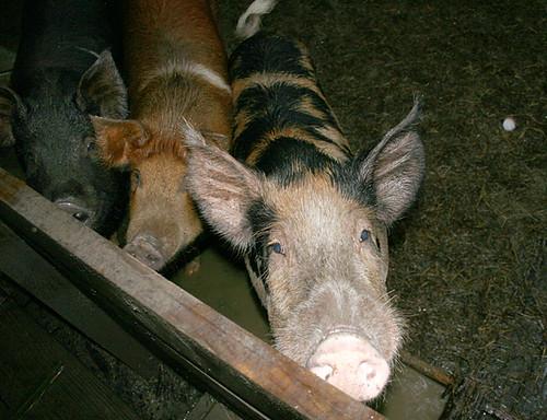 Palmarosa-Pork-1