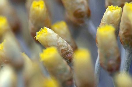 flores da perpétua-das-areias