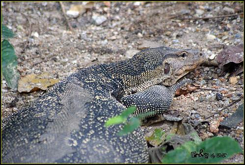 Monitor-lizard (Biawak)