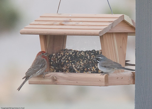 House Finch & Black-throated Sparrow by you.