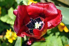 Ruby Red flower