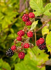 Blackberries now_DSC6125