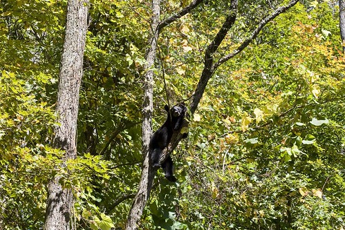 Black Bear,Smokies