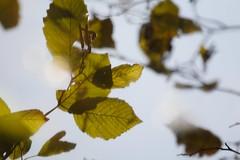 Alder Leaves Reflected in the Pond
