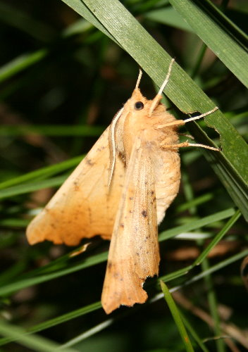 6797 - Ennomos magnaria - Maple Spanworm2
