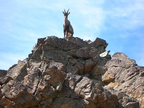 Cordata ibex sulla cresta accademica alla Cristalliera