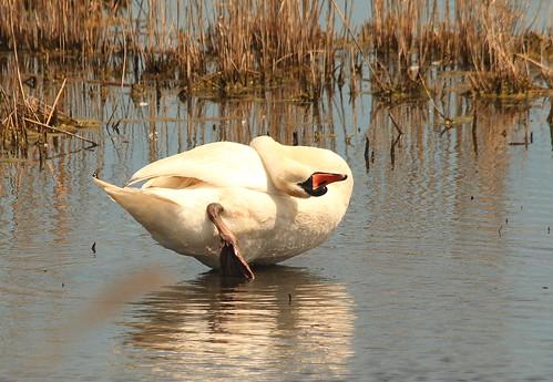 Swan Oragamy