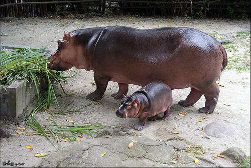 Nile Hippopotamus (Badak Nil)