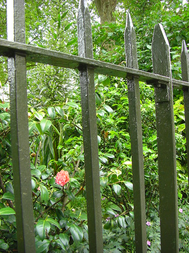 Pretty rose in pretty park with a pretty lock on its pretty iron gate. Close to our hotel (near Victoria Station).