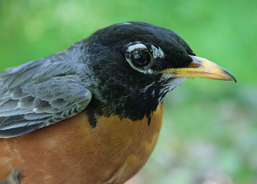 Adult male American Robin