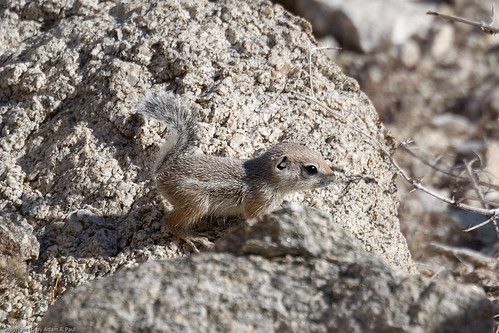 White-tailed Antelope Squirrel by you.