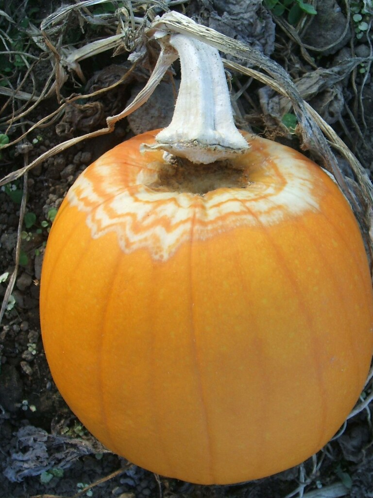 Pumpking rotting on the vine