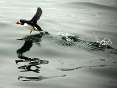 Puffin Take-off