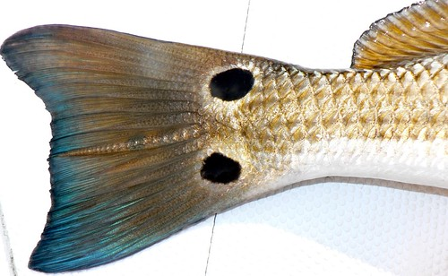 Nice close up shot of redfish tail. Check out the colors and you can really see some details in the fins.