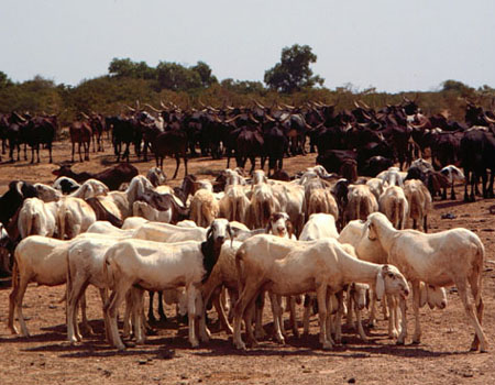 Sheep being watered at a waterhole in Niger