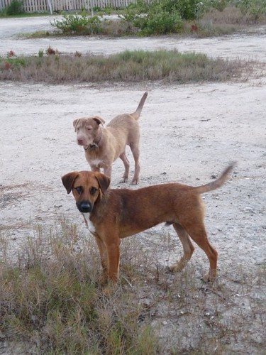 Dogs, San Pedro, Belize