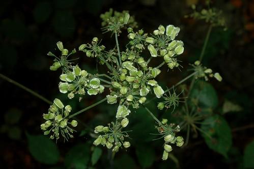 Unidentified Apiaceae infructescence