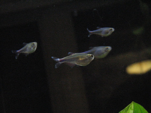 Neon Glowlight Tetras