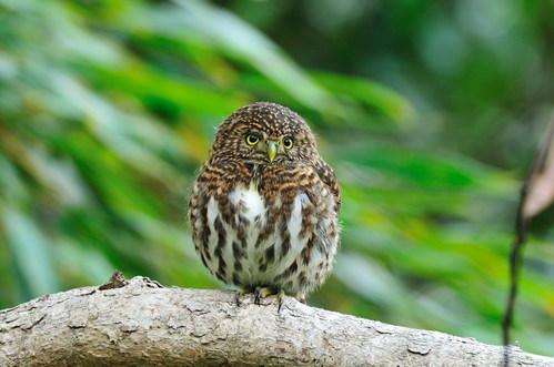 全臺灣最小的貓頭鷹----鵂鶹 @ 朵蕊蜜濕地生態園區 :: 痞客邦