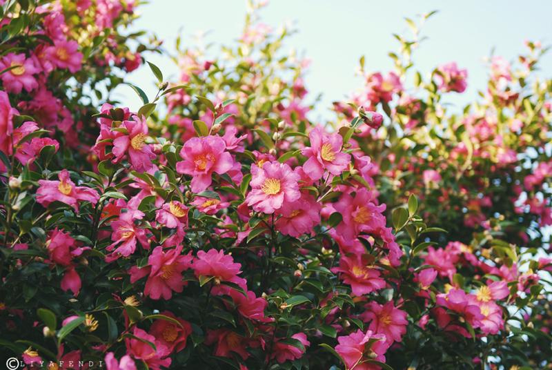 Pokok ni sgt lah cantik bila byk bunga pink kembang mcm ni..suteki!