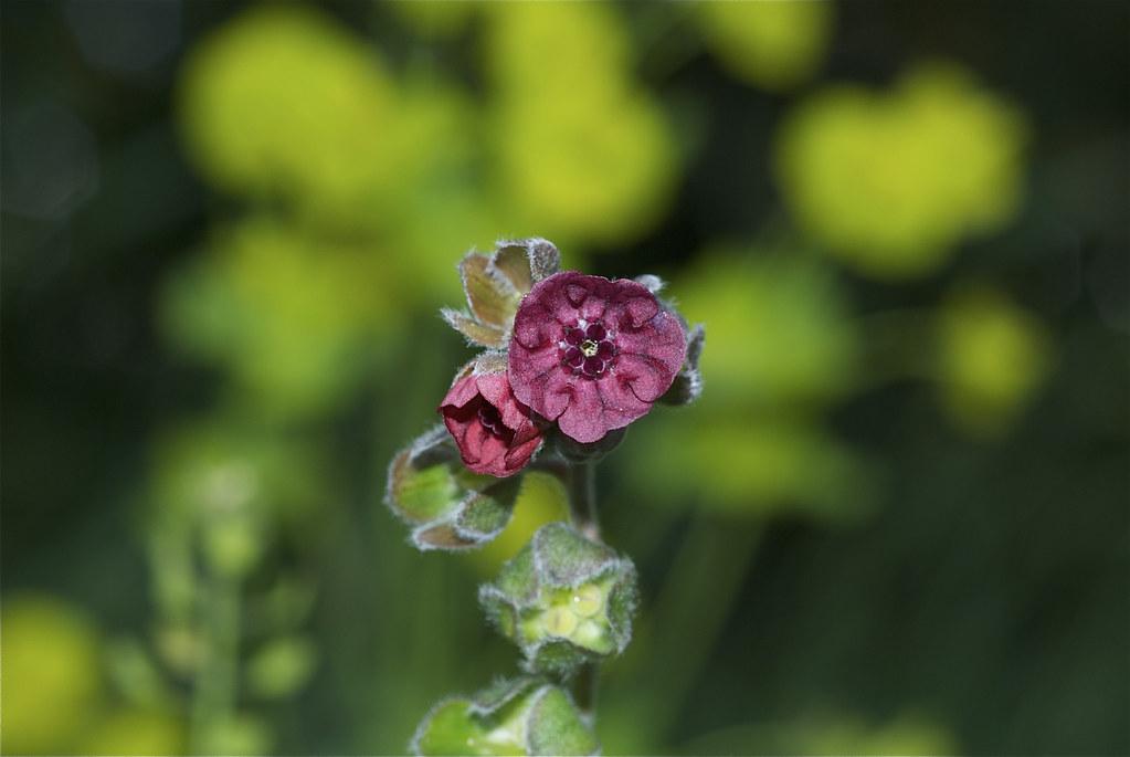 Hound's Tongue, Gypsy Flower