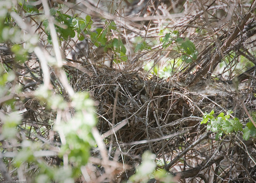 Long-eared Owl nest by you.